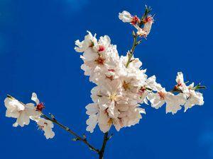 A piercing sky and almond blossom beauty