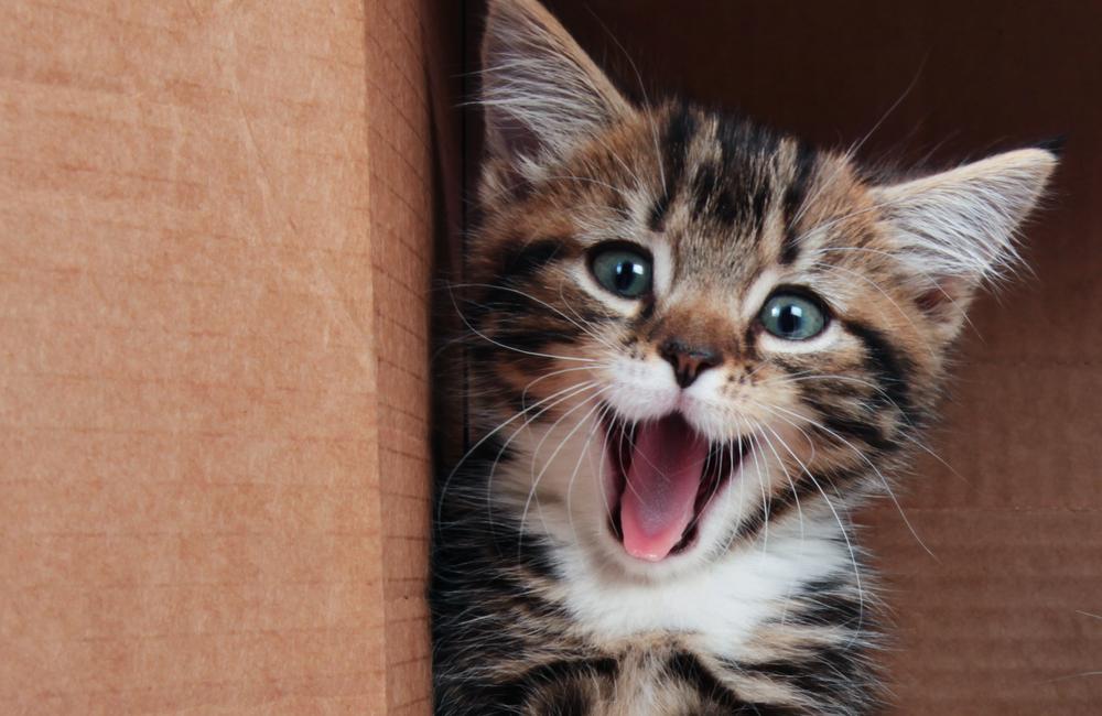 Kitten inside a box mewing