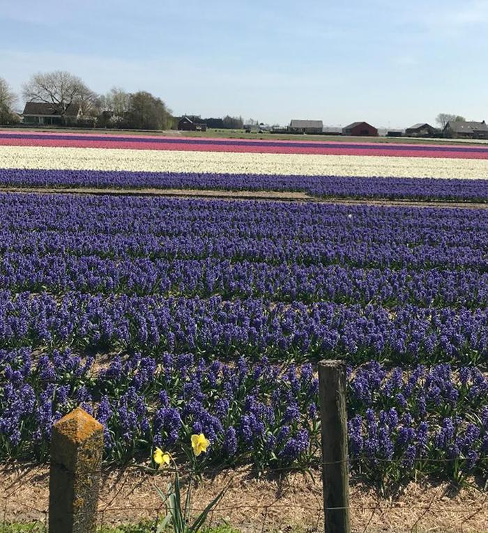 colourful Dutch hyacinth field
