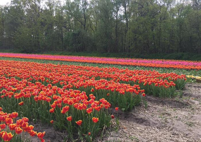 colourful Dutch tulip field
