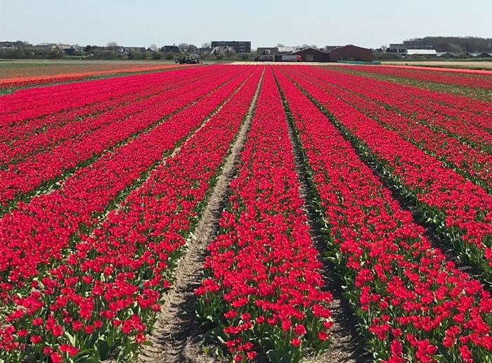 Dutch red tulip field in Holland