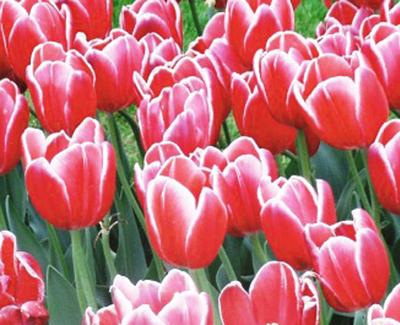 late blooming tulips at Keukenhof